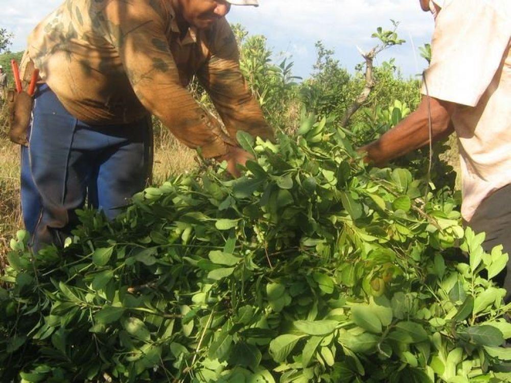 foto: Fijan en $6.300 la tonelada de hoja verde de yerba mate