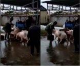 foto: VIDEO: un chancho héroe salvó a otro de ser sacrificado