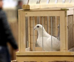 foto: Subastaron una paloma mensajera por 1,25 millones de euros