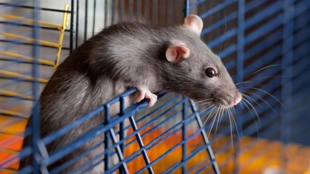 foto: Ratoncito se hace la víctima para no morir de un escobazo