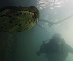 foto: Increíble: Dos buzos se encontraron con una anaconda de 7 metros