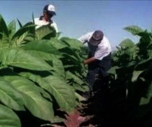 foto: Productores tabacaleros siguen a la espera de fondos de nación