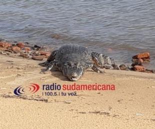 foto: Un yacaré apareció en playa Islas Malvinas I y es furor en las redes