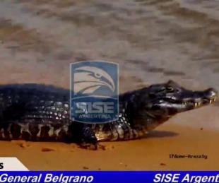 foto: Costanera: el yacaré captado por las cámaras de Sise Argentina