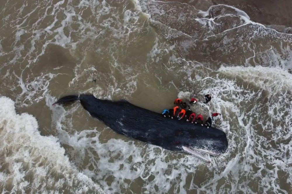 Murió un cachalote de 16 metros en las costas de Mar del Plata