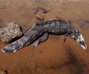 foto: Dolorosa imagen: hallaron un yacaré muerto de un machetazo