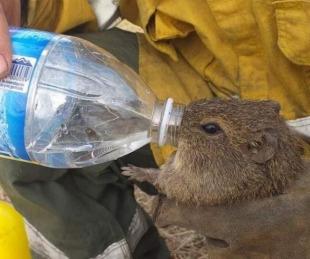 foto: Un bombero dio de beber agua a un cuis que huyó de un incendio